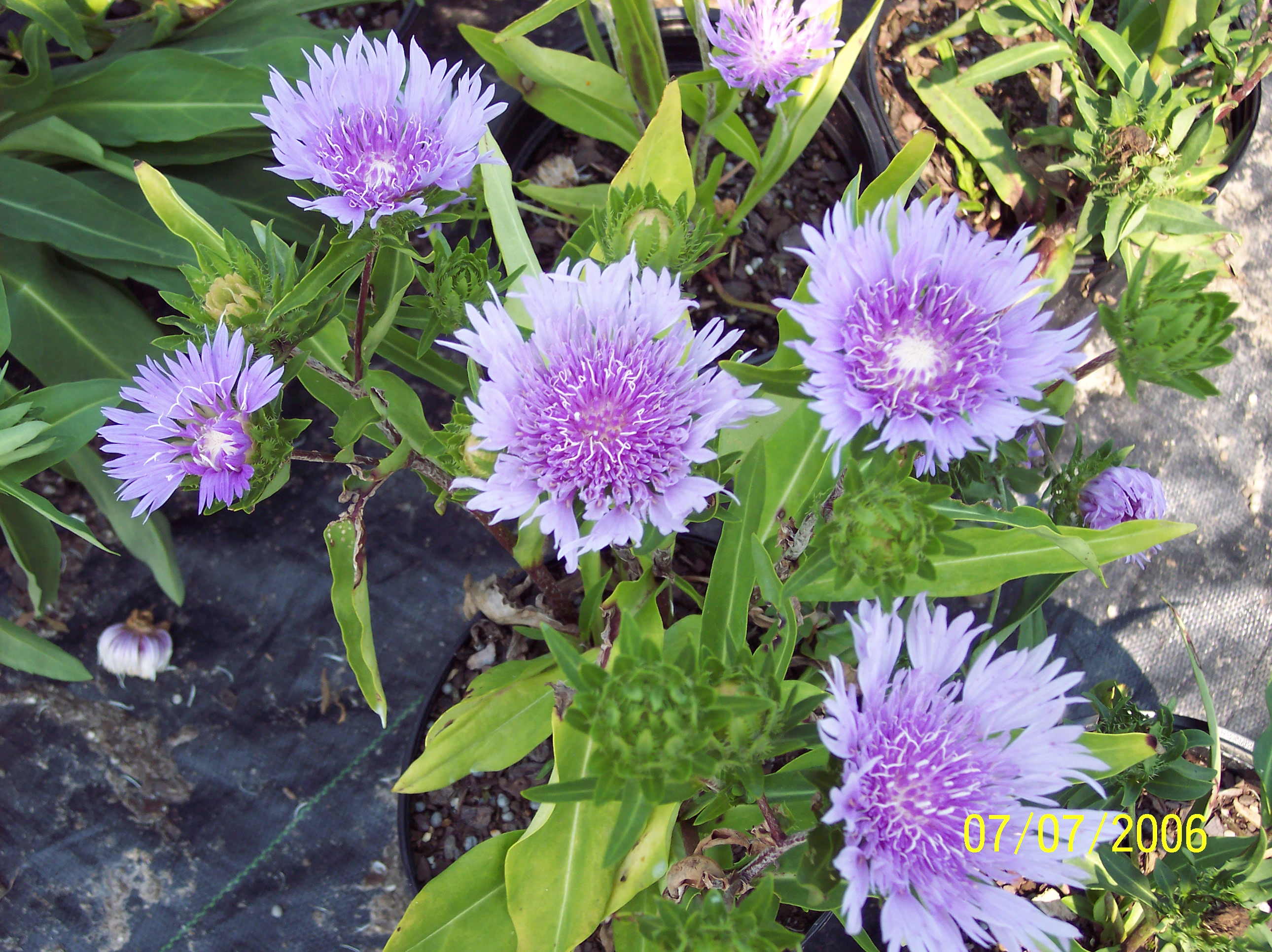 Perennial stokesia blue danube gilsongardensincs blog stokesia blue danube izmirmasajfo