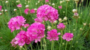 Perennial Common thrift
